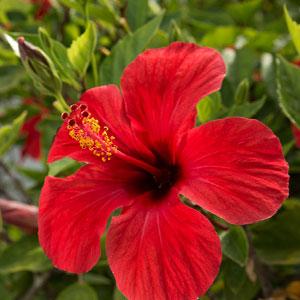 Hibiscus 83